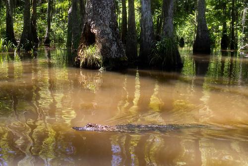gator swamp