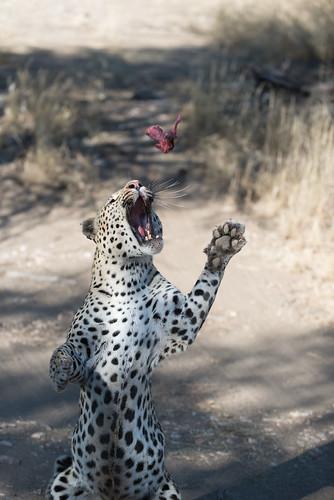 africa cat nature leopard animal 2016 namibia felidae pantherapardus windhoek otjozondjupa