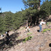 Volunteers and staff on OSMP work very hard to remove Myrtle Spurge from the land.