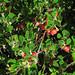 Flickr photo 'J20151104-0001—Arctostaphylos uva-ursi—RPBG' by: John Rusk.