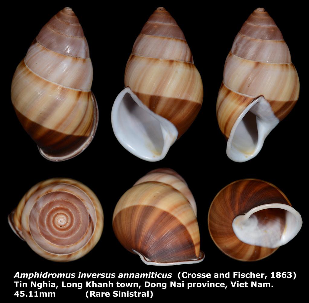 Amphidromus inversus annamiticus 45 11mm (Rare Sinistral