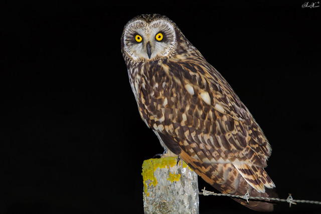 Coruja do Nabal, Short-eared Owl (Asio flammeus)  - em Liberdade