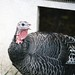 Turkey at Pasado's Safe Haven
