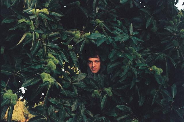 Head in sweet chestnut tree