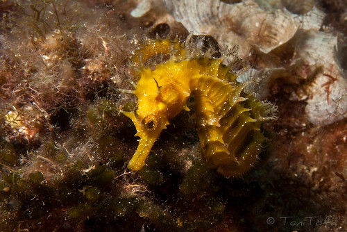 Hippocampus guttulatus | by ToniTofa
