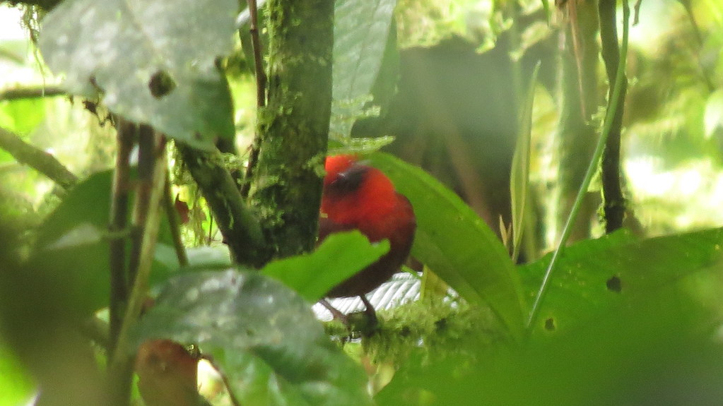 Endemic, Crested Ant Tanager, Habia cristata, Mistrato,Pacific/Chocó Natural Region