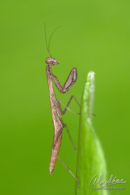 Mantis trepadora