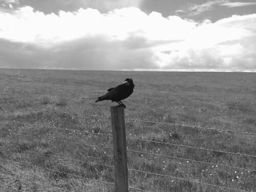 Stonehenge - a posing crow