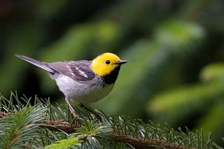 Hermit Warbler (Setophaga occidentalis) | by USFWS Headquarters