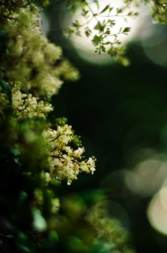flowers flower landscape nikon ligustrum d5100