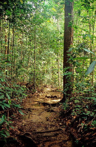 leica trees green nature leaves forest trek walking rainforest singapore asia path roots slide velvia jungle transparency tropical fujichrome footpath bukittimah humid singapura bukittimahnaturereserve primaryrainforest r62 leicar62 ronlayters slidefilmthenscanned aseanheritagepark