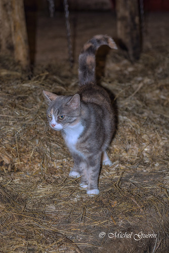 ca © canada nature cat nikon chat exterior farm québec extérieur qc ferme 2016 nikon2470 easthereford michelguérin nikcollection googlenikcollection tousdroitsréservésallrightsreserved lightoomcc