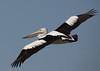 Australian Pelican Pelecanus conspicillatus by Neil Cheshire