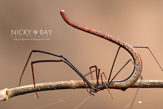 Twig Spider (Ariamnes sp.) - DSC_1961 | by nickybay