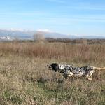 FATA DI VALTRESINARO - In ferma su starne in terreno ricco di vegetazione.