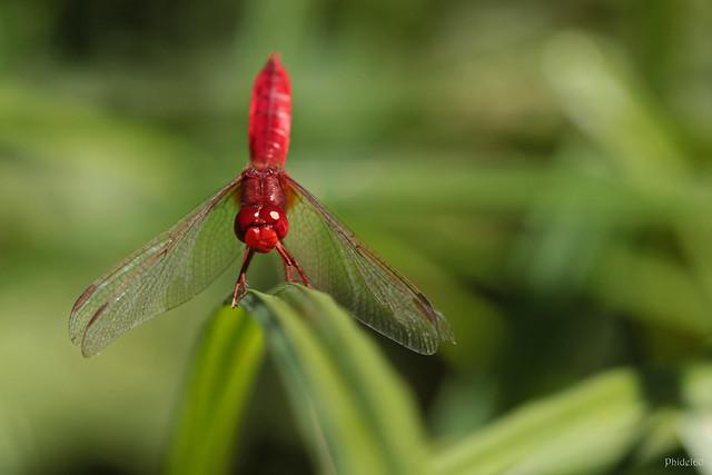 La libellule rouge de Müller