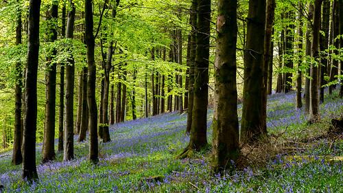 bluebells delcombewoods dorset woods bulbarrowhill canon5d3 5d3 englishcountryside countryside
