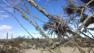 tillandsia recurvata, ball moss | by theforestprimeval