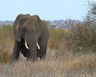 African Elephant (female) | by leendert3
