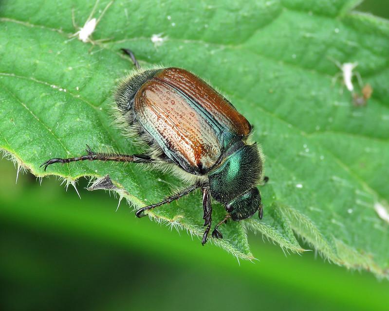 Bracken Chafer - Phyllopertha horticola