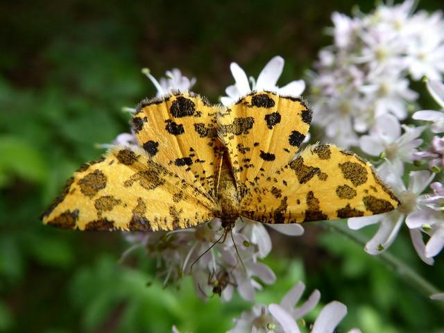 Pseudopanthera macularia - Phalène panthère (FR) - Speckled Yellow (UK) - Boterbloempje (NL) - Panther-Spanner (DE) - Leopardmåler (DK) - Pantermåler (NO) - Pantermätare (SE) - Tiigervaksik (FI) - Osmaganek plamek (PL) - Párducfoltos araszoló (HU)