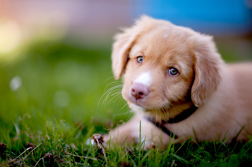 Pixel the Toller | by pkhamre