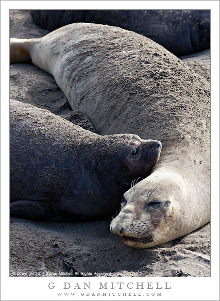 Elephant Seals - Mother and Pup