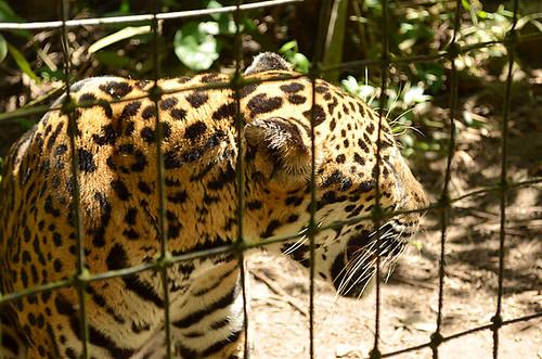 Belize Zoo -Joe -2 | by KathyCat102