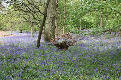 Bluebells in Rowley Bristow woods