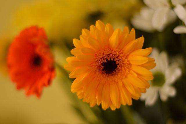 Yellow And Orange Gerberas