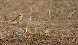 Whinchat (Saxicola rubetra) | by jonnobird (Catching up after Cyprus)