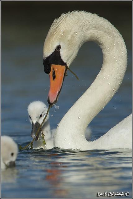 Mute Swan (30619-0819)