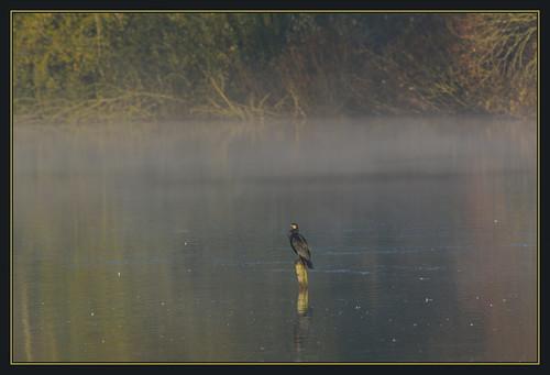 mist lake bird nature fog sunrise dawn suffolk wildlife lakes reserve trust cormorant lackford