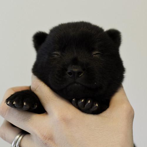 Nami-Litter1-Day10-Puppy6-Male-1 | by brada1878