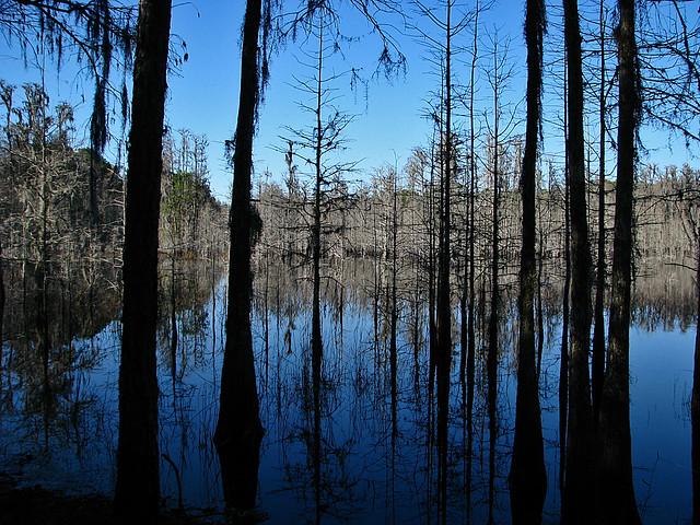 Cypress Tree Silhouettes in Water, Starkey Park, New Port Richey Florida