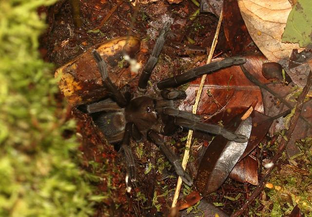 Tarantula - Theraphosidae