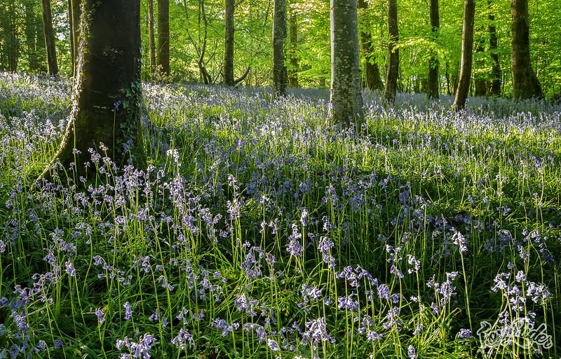 Sidelit Woodland Bells