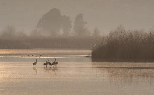 morning lake bird nature misty israel crane wildlife beak feather agamonhula