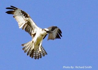 Osprey in attack | by Rifa21