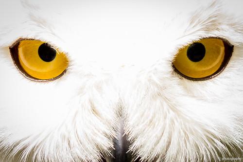 animal animals zoo harrypotter owl tierpark snowowl hedwig schneeeule eule suhl