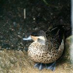 Hottentot Teal