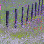 Texas Wildflowers_2016_Fences