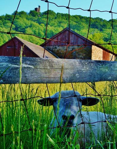 usa barn landscape sheep farm pa washingtonscrossing solebury bowmanstower