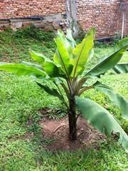 BBTD banana