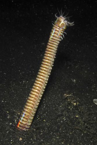 Bobbit worm stretch
