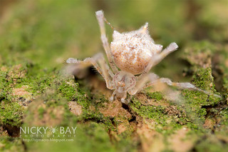 Comb-Footed Spider (cf. Meotipa sp.) - DSC_2358