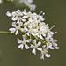 Flickr photo 'Conium maculatum LV8710-D237-2000' by: Sarah Gregg Petriccione.