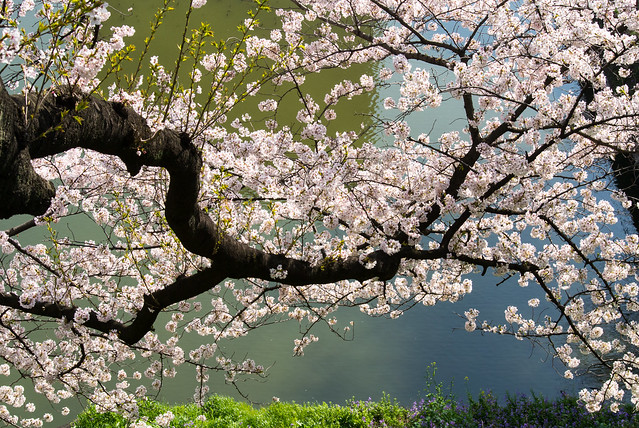 Spring in full bloom (Sakura)