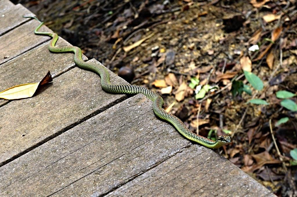 Paradise Tree Snake Singapore The Flying Serpent Dorsal Flickr
