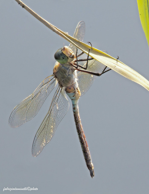 Anax parthenope (Selys 1839) male